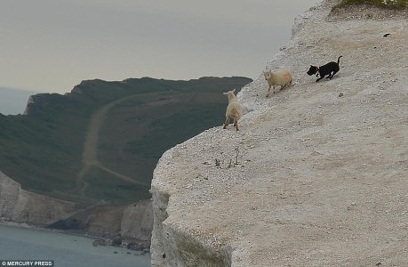 Loose dog chasing 2 sheep to edge of a cliff.  Image source.